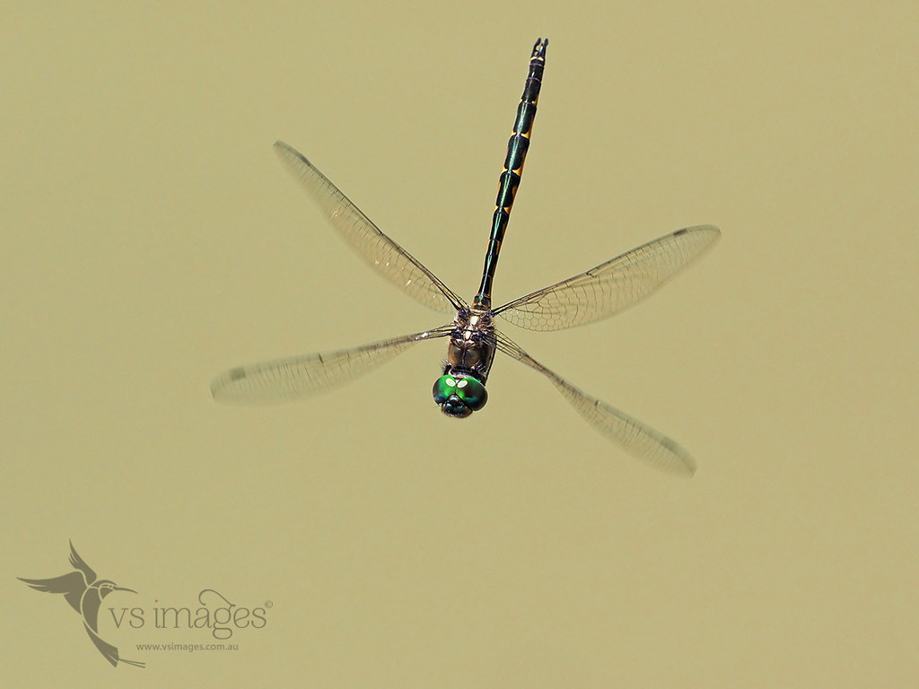 page emerald australian in dragonfly macrokosm test flight