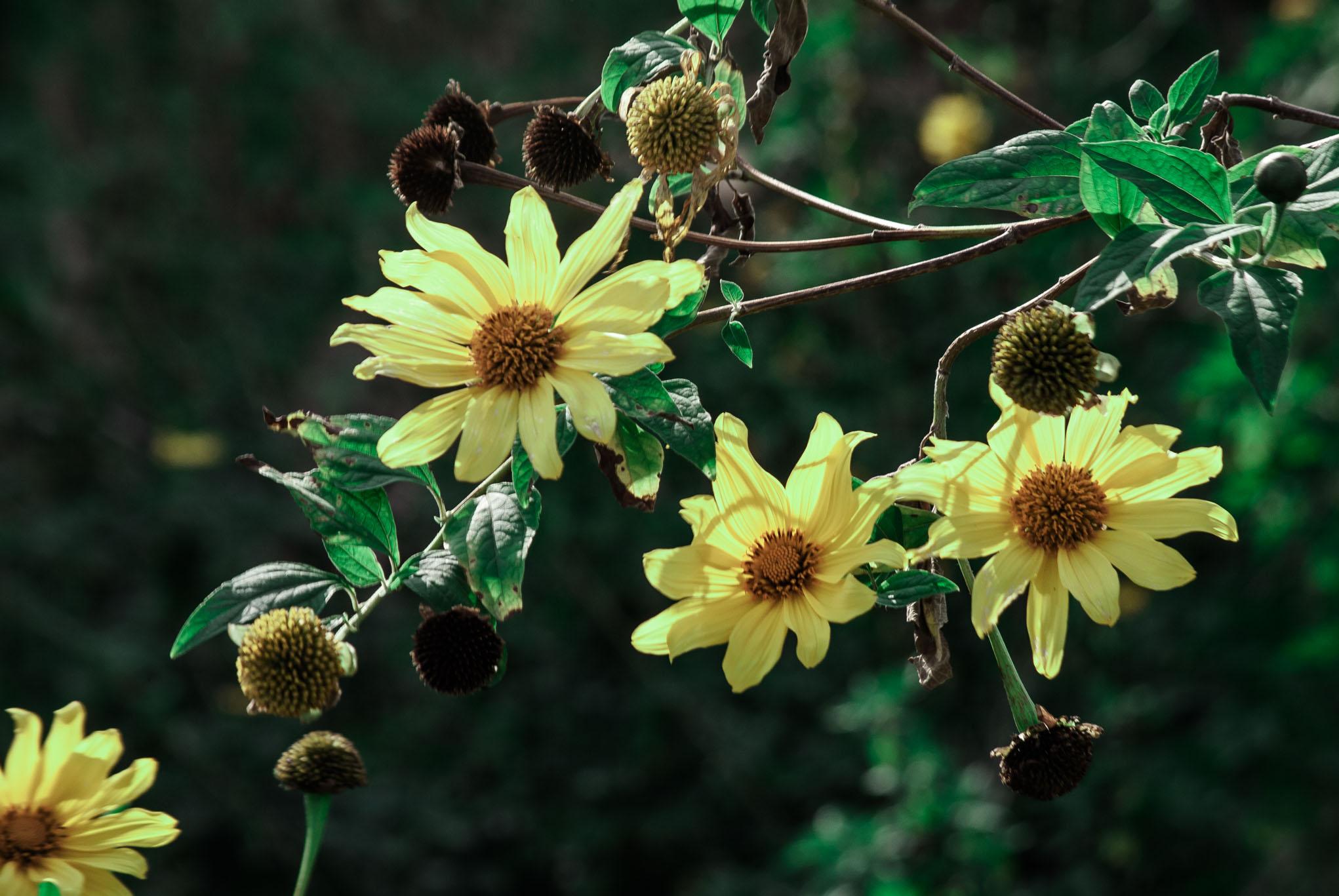 sagada flower