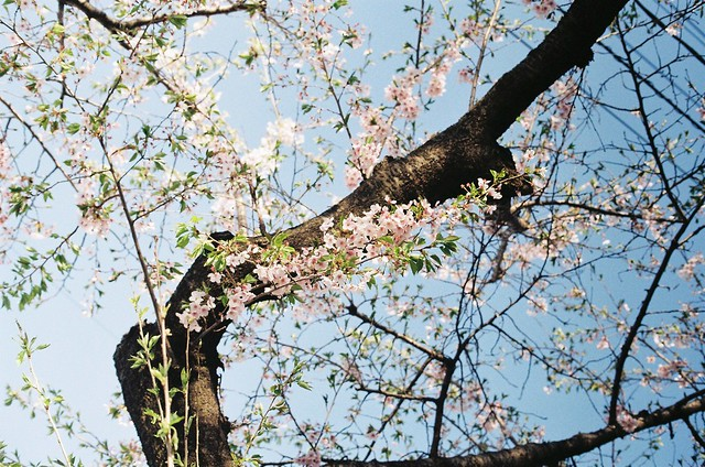 今年の桜3 MC ROKKOR-PG 50mm F1.4/Kodak Gold100
