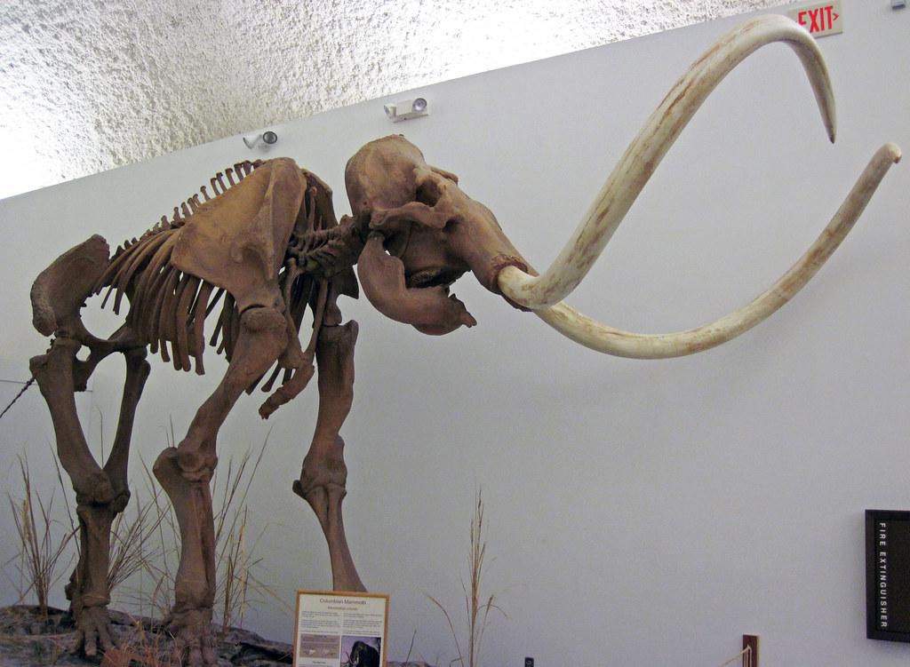 ... Mammuthus columbi (fossil Columbian mammoth) (Upper Pleistocene; Huntington Reservoir, Utah,