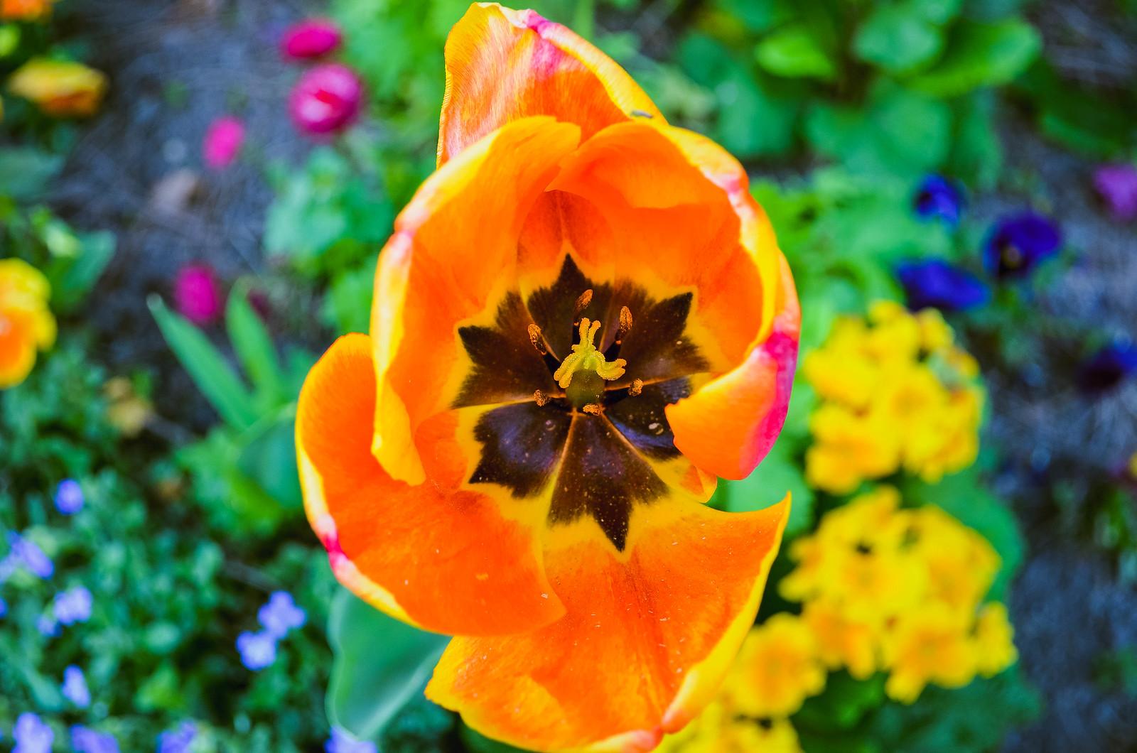 Tulipes colorées du Jardin des plantes Nantes