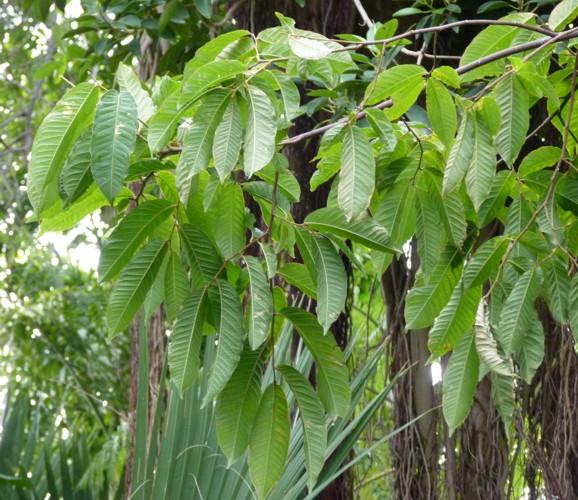 Cariniana estrellensis 18512815852_3242db9ac0_o