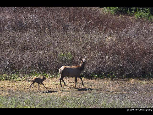 Mama and baby elk (Cervus  canadensis)