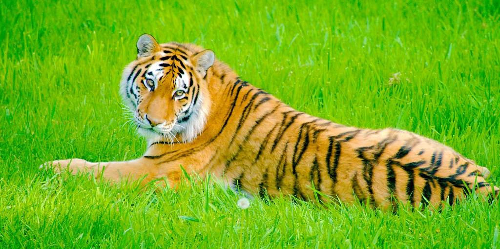 Amur Tiger (Panthera tigris altaica)_3