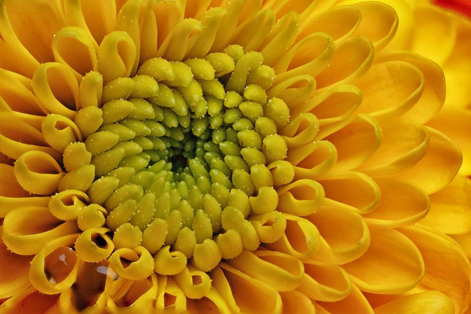 Miniature Chrysanthemum Flowers Macro In Photography On