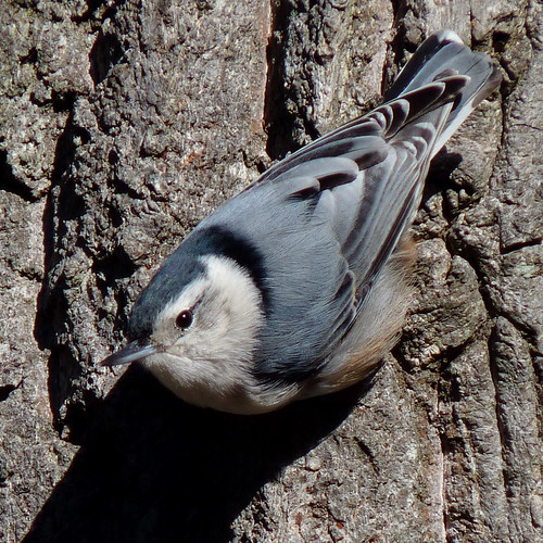 White-breasted Nuthatch | by Dendroica cerulea