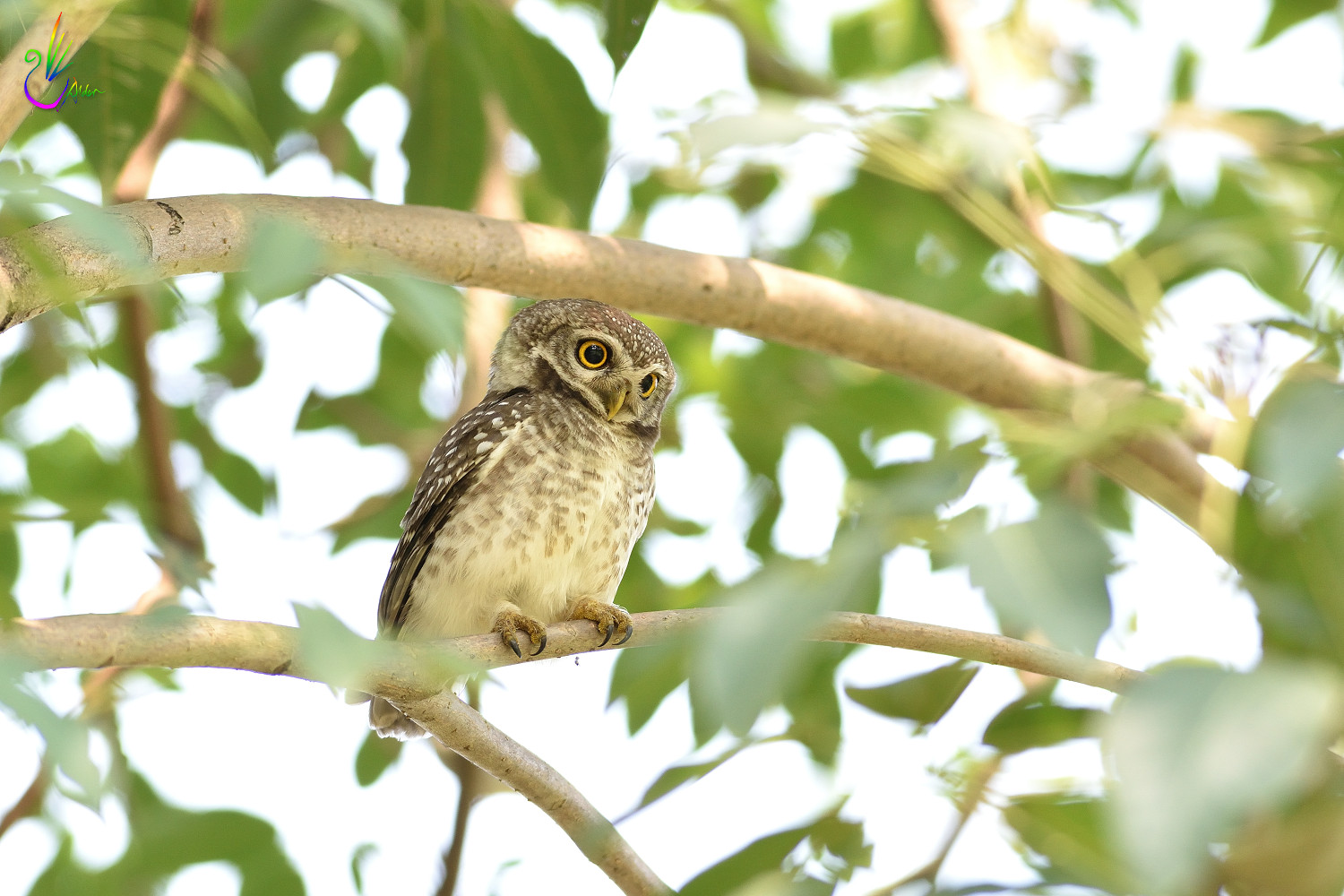 Spotted_Owlet_6813