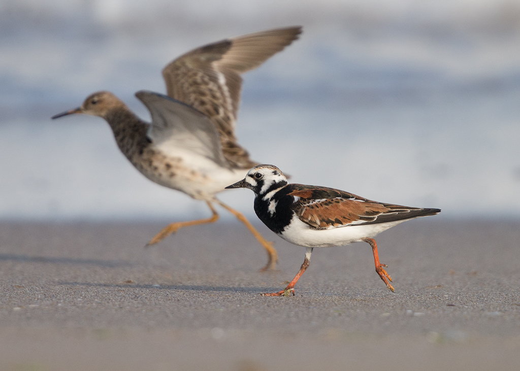 Turnstone  Bulgaria
