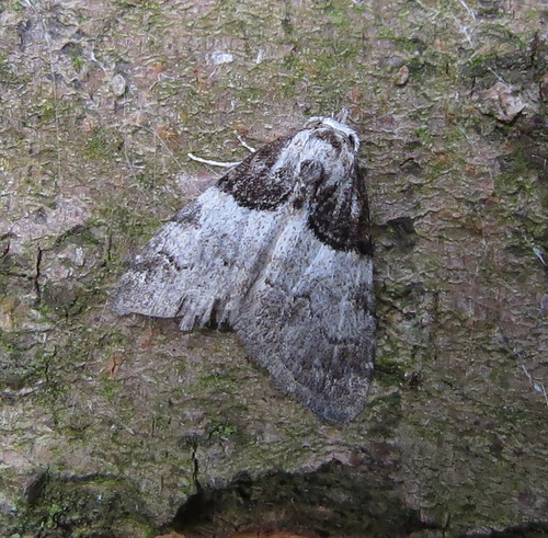 Short-cloaked Moth Nola cucullatella Tophill Low NR, East Yorkshire June 2015