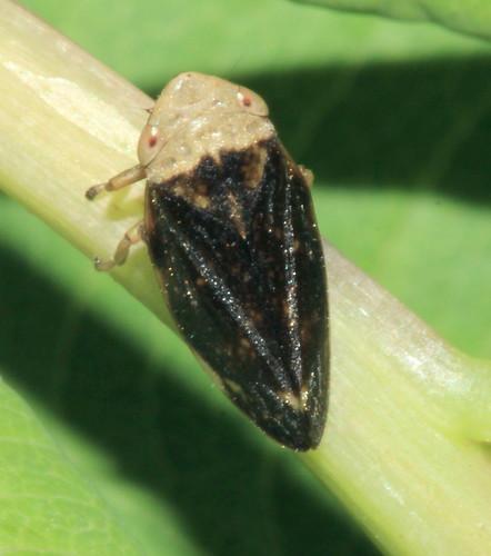 Philaenus spumarius 9681