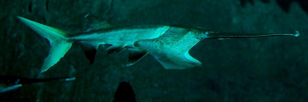 Paddlefish_1