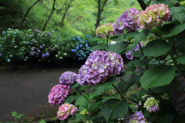 吉野山公園の頂上に向かう道で撮った紫陽花