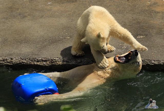 Eisbär Fiete im Zoo Rostock  85