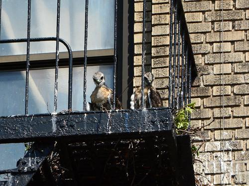 JHW Hawk Nestlings - 2171