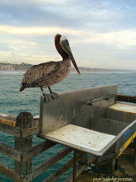 pelican_pier_web