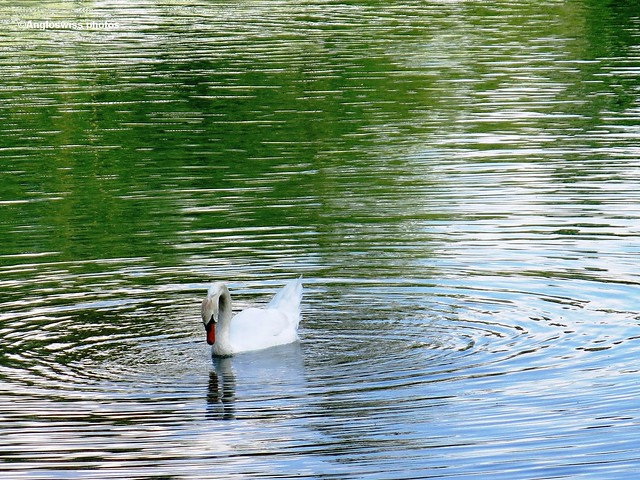 Swan on river Aare