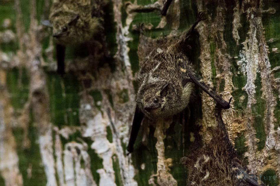 Londik, pauntiib, Rhynchonycteris, naso, Proboscis, bat, Long-nosed, Sharp-nosed, Brazilian, long, nosed, River, Caño, Negro, Wildlife, Refuge, Costa Rica, Kaido Rummel