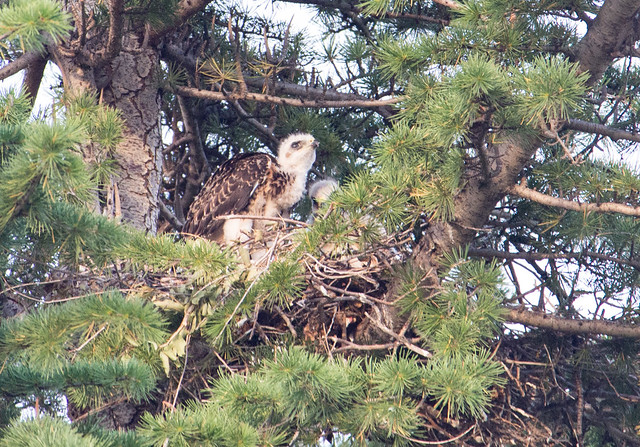 Swainson's Hawk Young in Nest