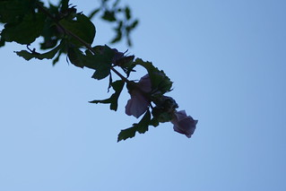 Mallow against the sky | by Britta's world of photos