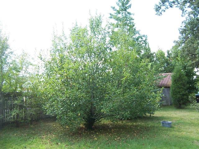 apple tree ugly green apples make good apple sauce. Black Bedroom Furniture Sets. Home Design Ideas