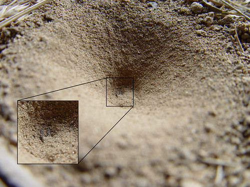 A conical pit in the sand with a magnification at the center showing the mandibles of the Antlion open.