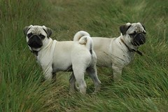 Pair of pugs Mickey & Arthur | by gazcook