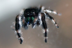 jumping spider 3 | by joe holmes
