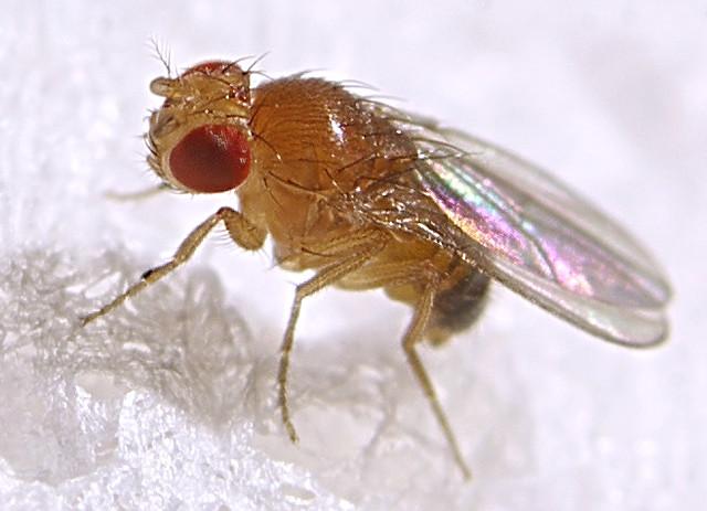 Fruit Fly Drosophila Melanogaster, Male  A Serious -6954