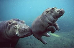 Baby Hippo | by RimmaK