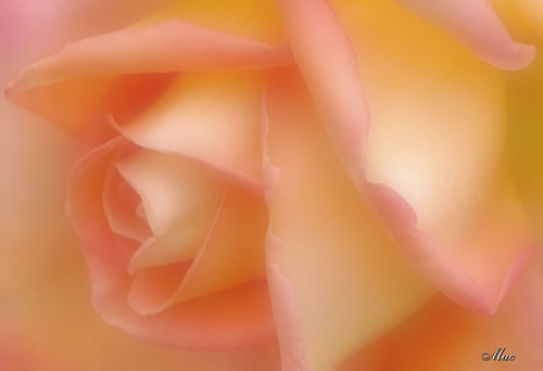 Rose Hybrid 'Purity' - Soft Macro | by Mc Shutter
