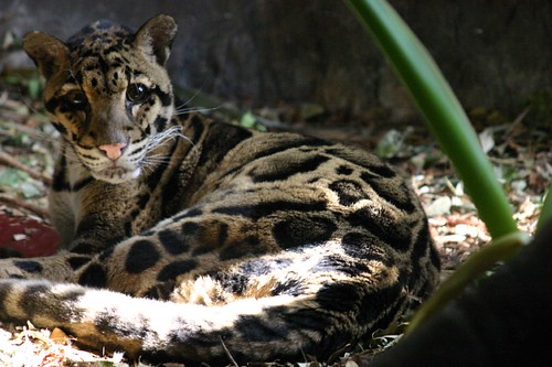 Clouded Leopard | by iansand