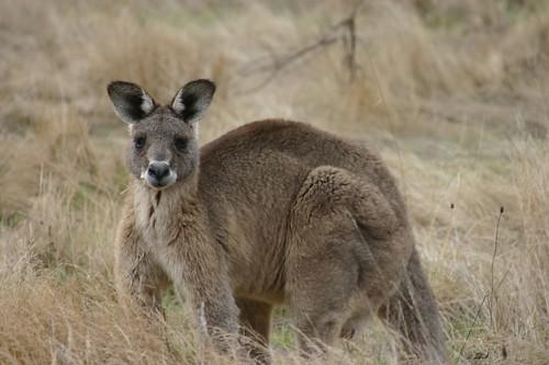 Eastern Grey Kangaroo ...