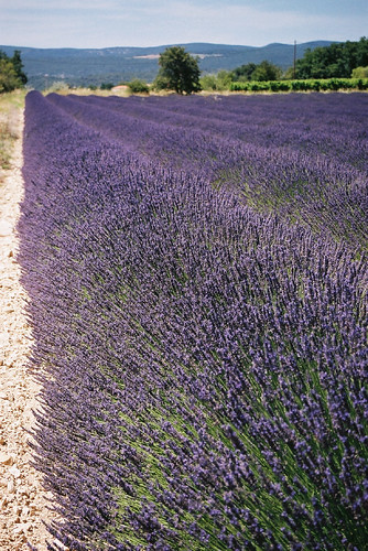 classic Lavender fields in Provence | by Judy B - The Travelling Eye