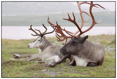 Real caribou antlers