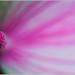 Wisley Pink Anthurium