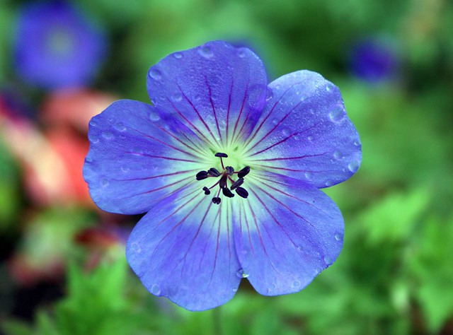 Ket Single Blue Flower | Jennifer Williams | Flickr