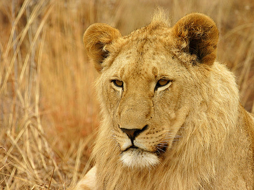 Young Male Lion (Panthera leo) | by Gerhard Theron