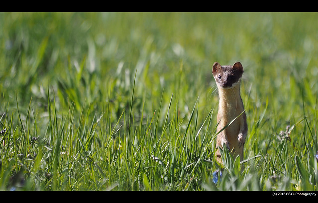 Long-tailed weasel (Mustela frenata)