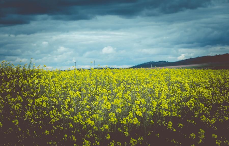La Mancha amarilla