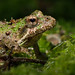 Northern Cricket Frog, Maple Flat Ponds, George Washington National Forest, Virginia (June 8, 2015)