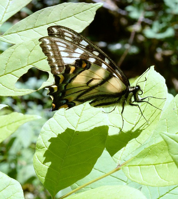 Butterfly shadow; Eastern Tiger Swallowtail