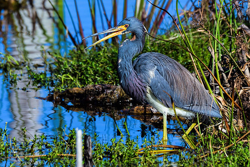 Viera Wetlands: Tricolored Heron Yakking It Up