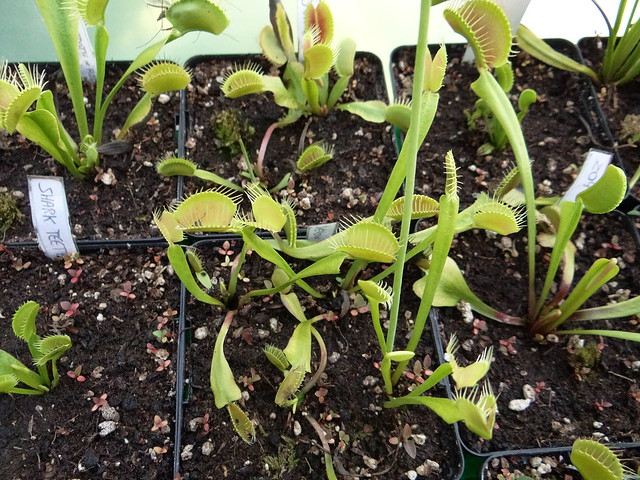 Dionaea muscipula 'Yellow fused tooth'