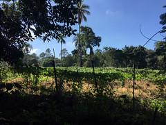51 - Felder nahe Jarabacoa