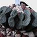 Haworthia truncata 'Dai-Setsu-Zan'