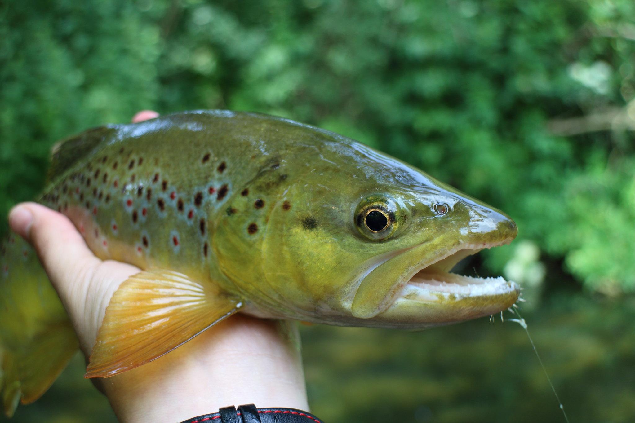 "15"" Wild Brown Trout"