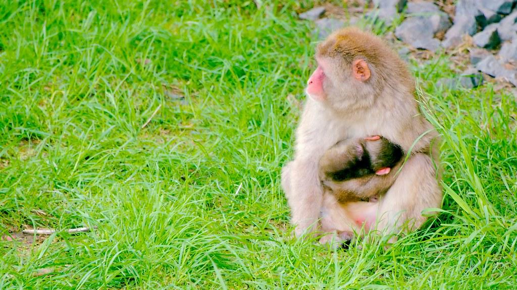Japanese Macaque (Macaca fuscata)_3