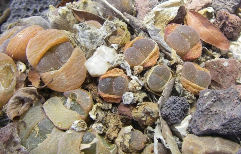 Conophytum friedrichiae 19184346500_39f9d33c6f_o