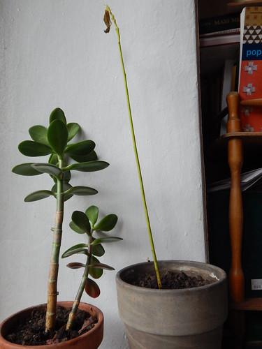 авокадо и денежное дерево рассажены по разным горшкам I horoshogromko.ru