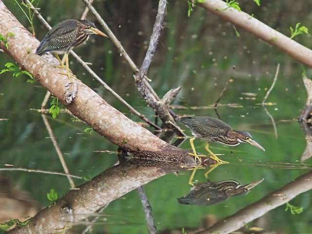 Green Heron juveniles interacting 5-20150601